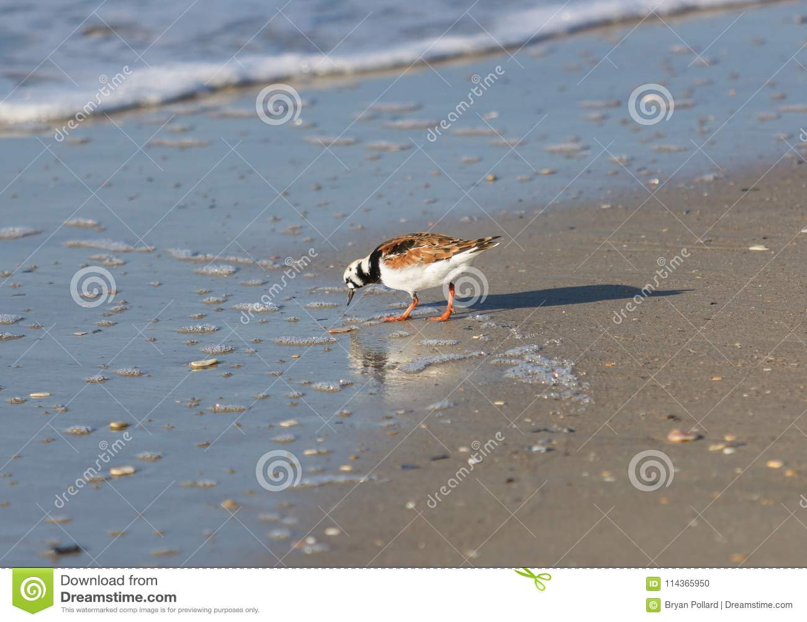 Ruddy Turnstone auf Strand