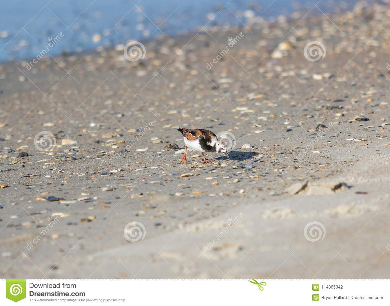 Ruddy Turnstone en la playa
