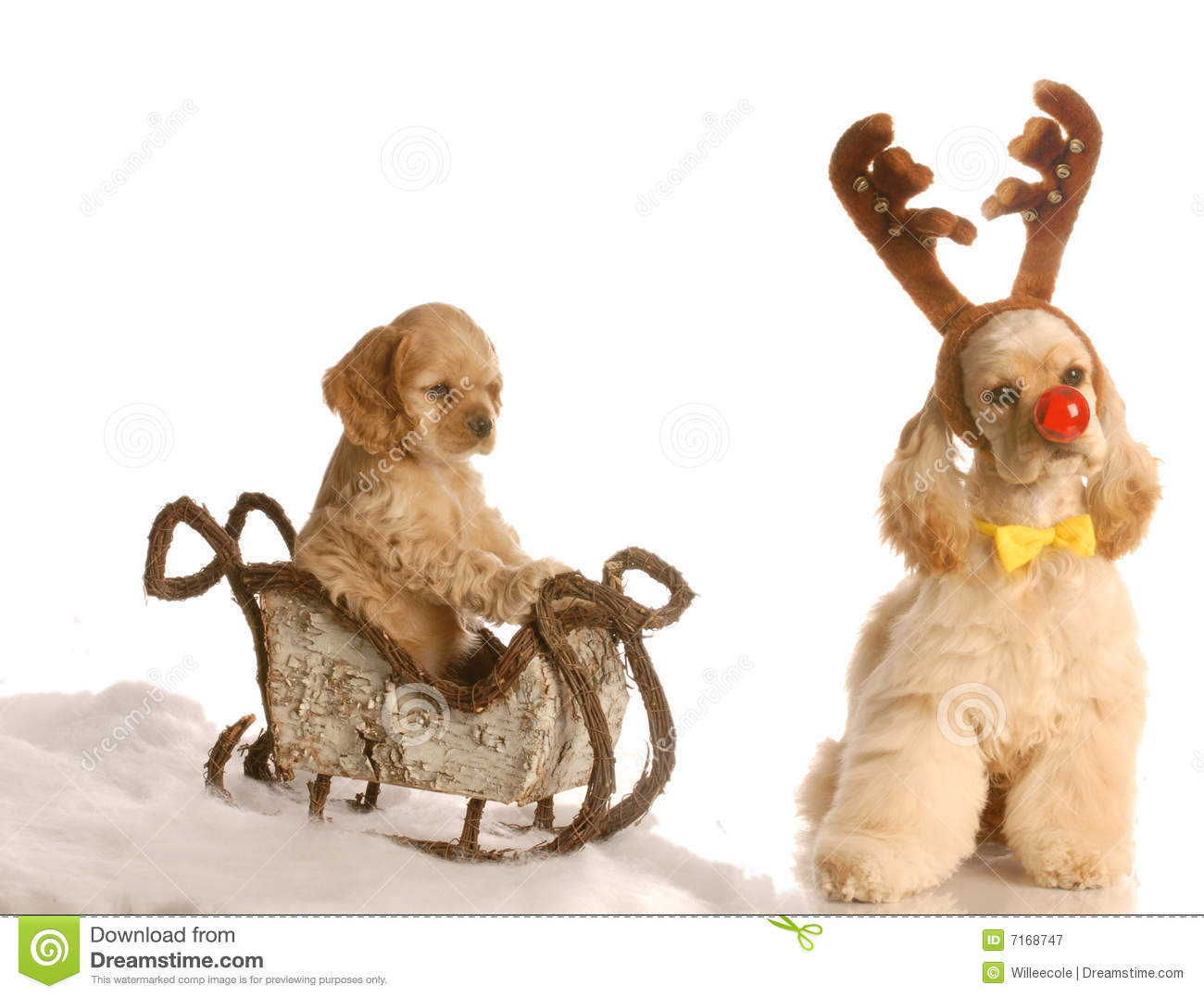 rudolph dog pulling sleigh stock image image of cocker 7168747