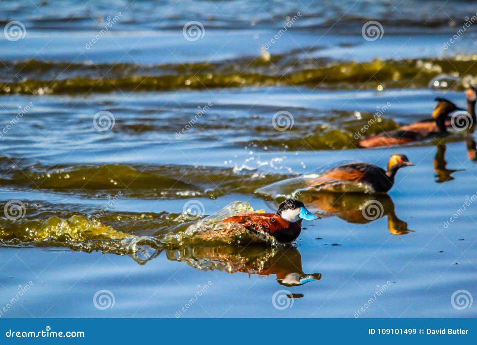 Rudy nurkuje, Szczery jezioro, Alberta, Kanada