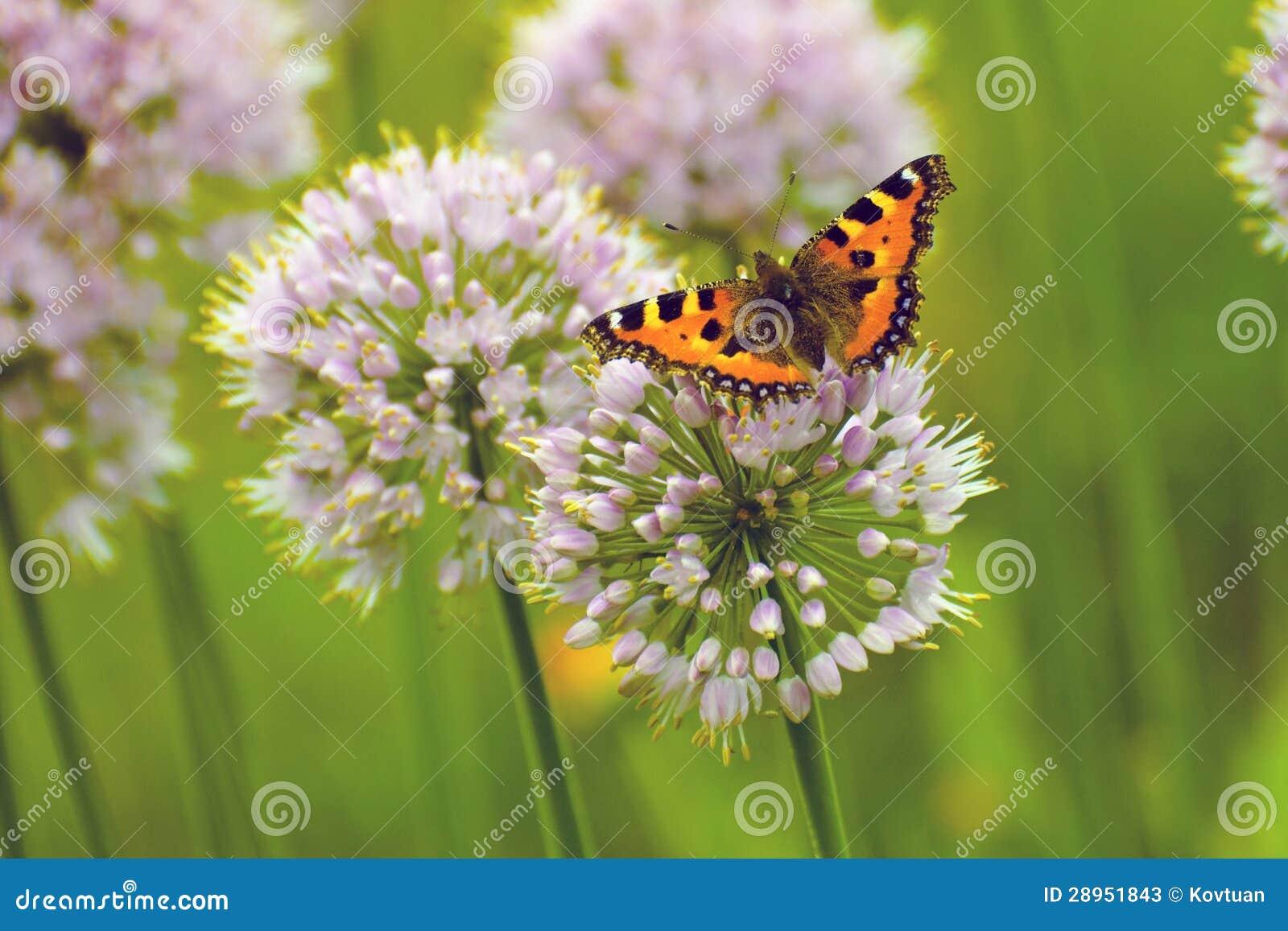 Rudzielec motyl na dużych round purpura kwiatach