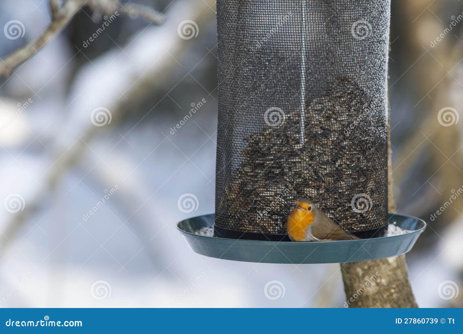 Rudzik przy ptasim karmieniem