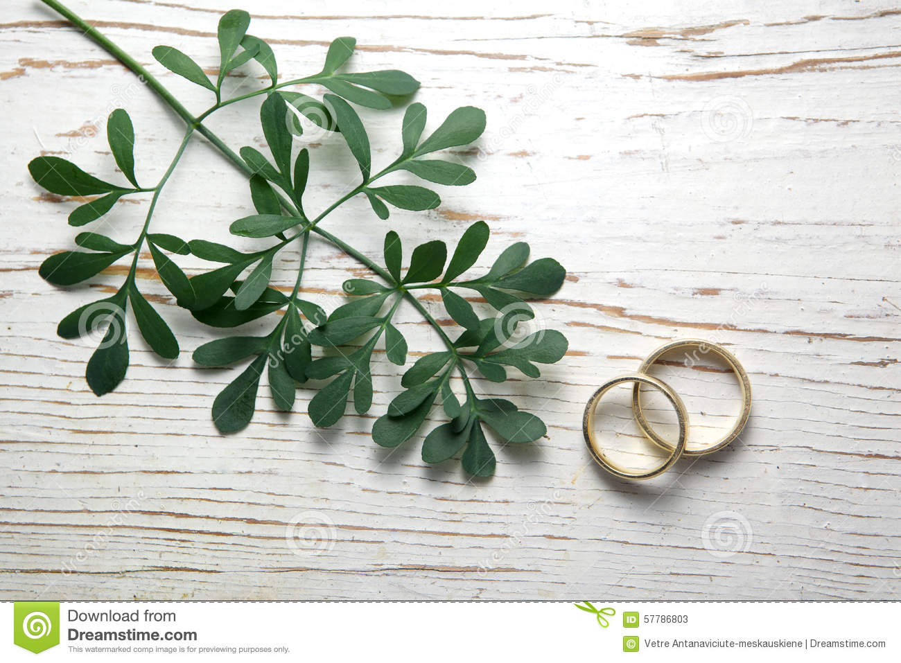 Garden Bush: Rue Herb Plant. Lithuanian Traditional Plant Stock Photo