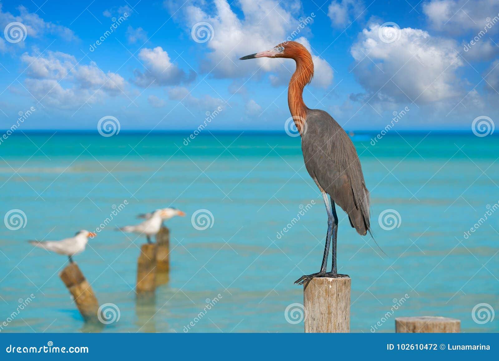 Rufescens d Egretta ou oiseau rougeâtre de héron de héron