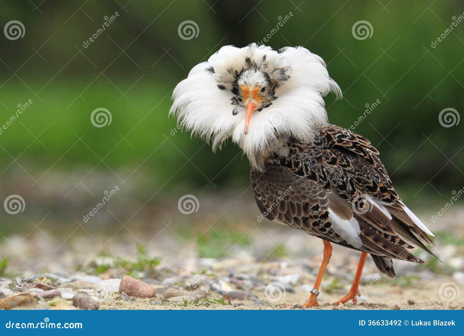 Ruff dans le plumage d élevage