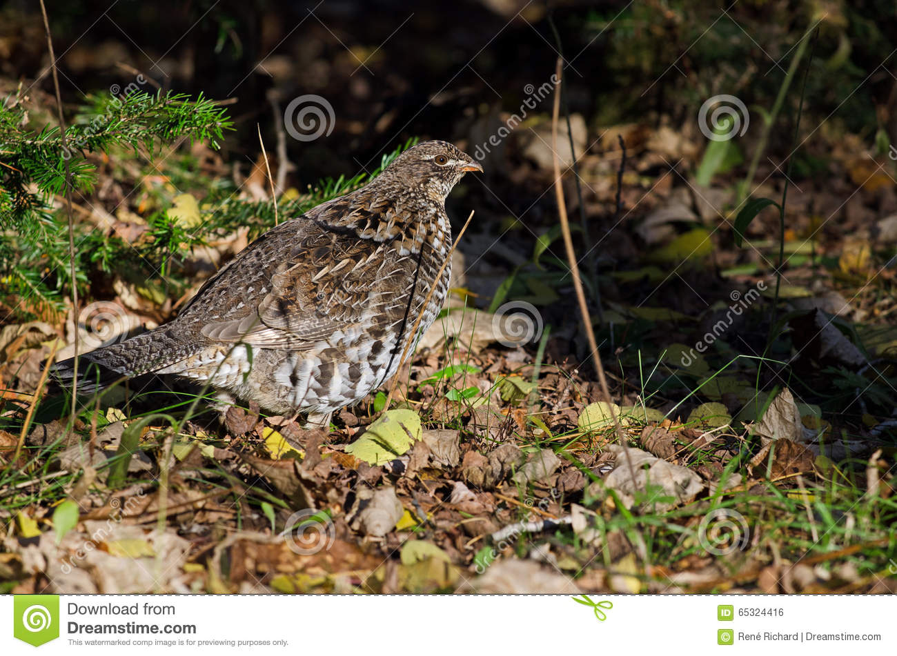 Ruffed grouse stock photo image 65324416 for Parc national du bic