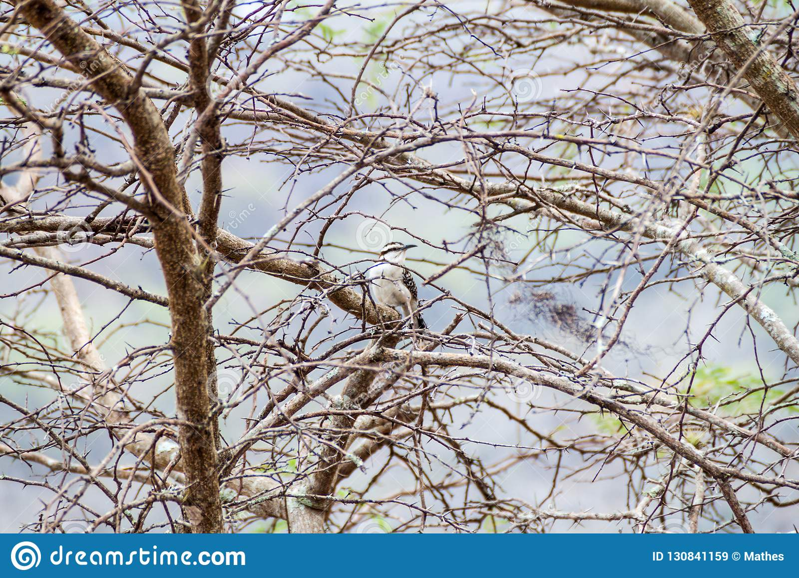 Rufinucha rufous-naped de Campylorhynchus de roitelet dans la zone protégée Miraflor, Nicarag