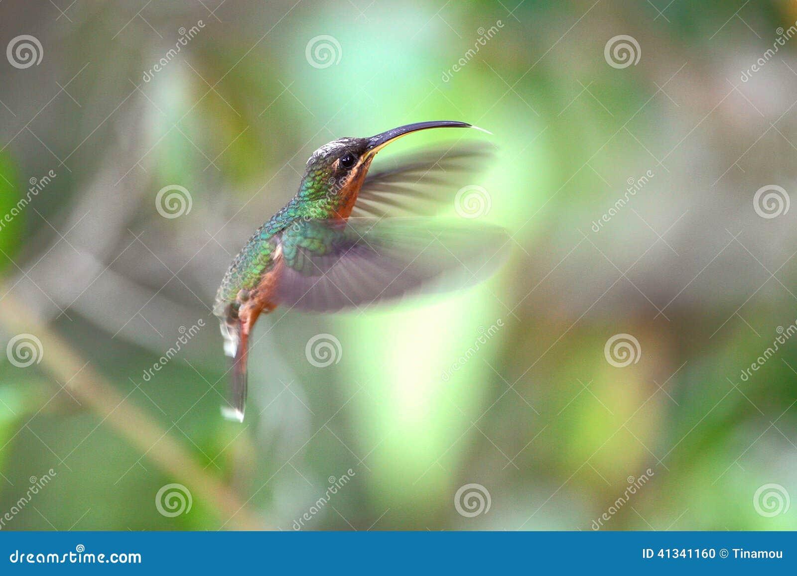 Rufous-breasted hermit, hummingbird in Peru