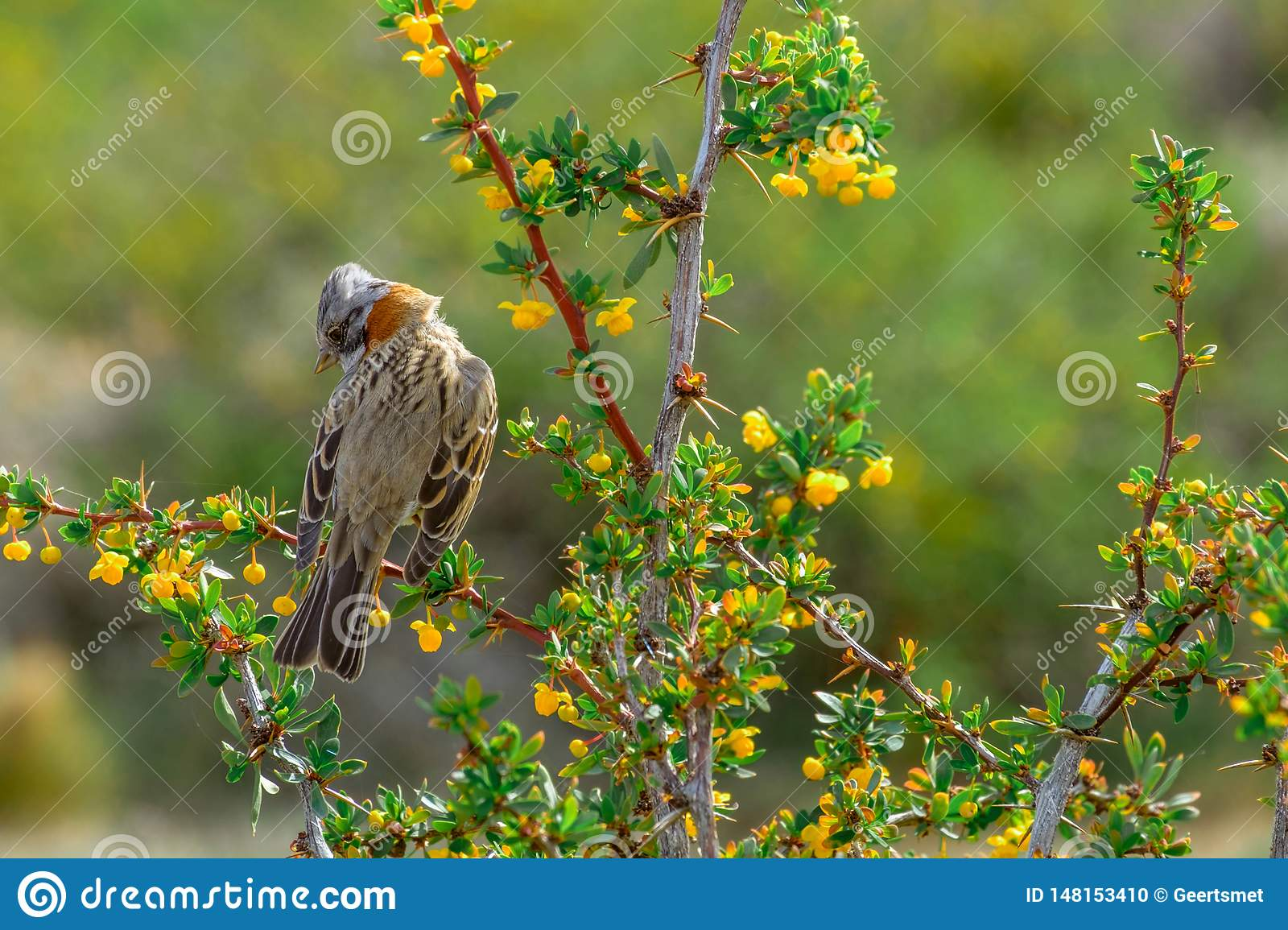 Rufous-collared sparrow sitting on a branch