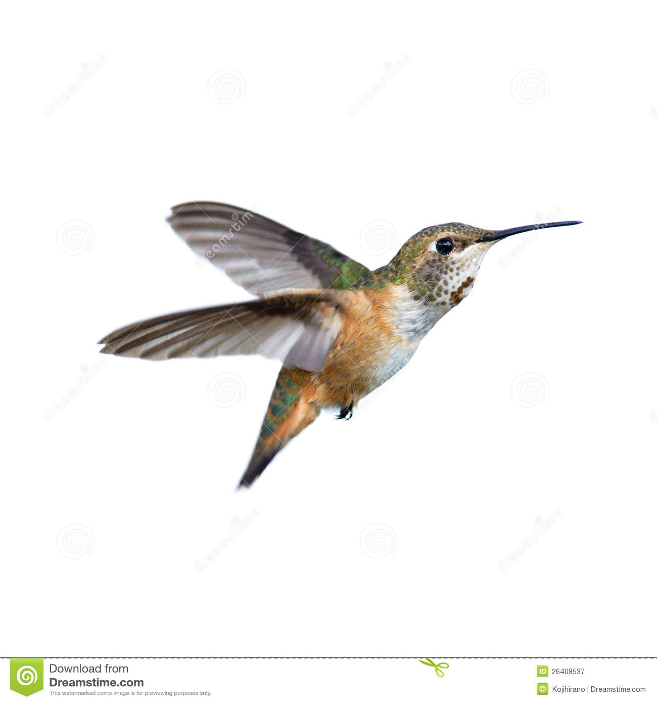 Royalty Free Stock Photography Rufous Hummingbird Image26408537