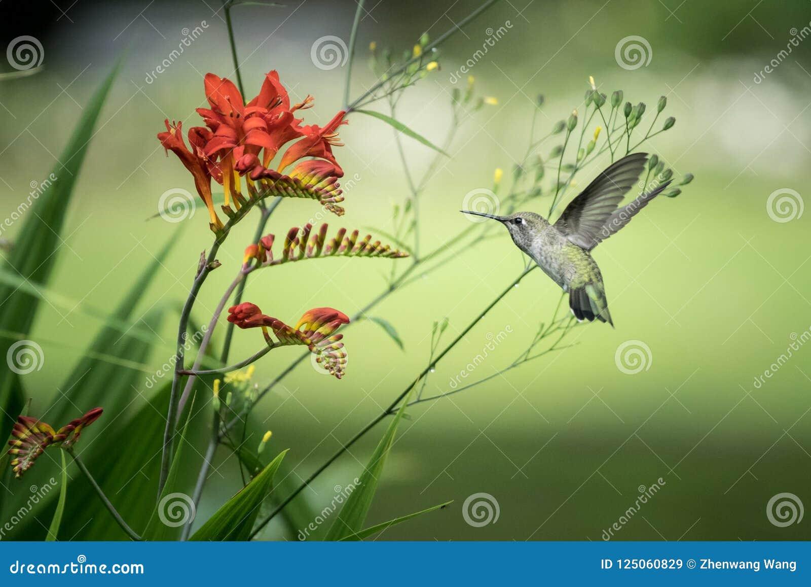 Rufous Kolibrie en Crocosmia-bloemen