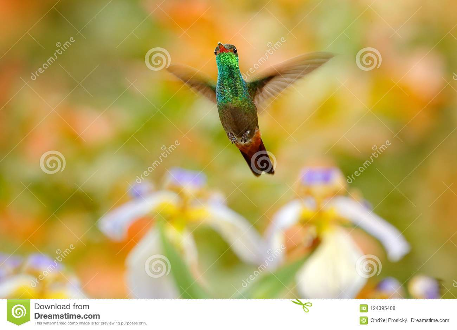 Rufous-tailed Hummingbird, Amazilia tzacatl, hummingbird with orange green flower background in Costa Rica. Bird in the nature ha