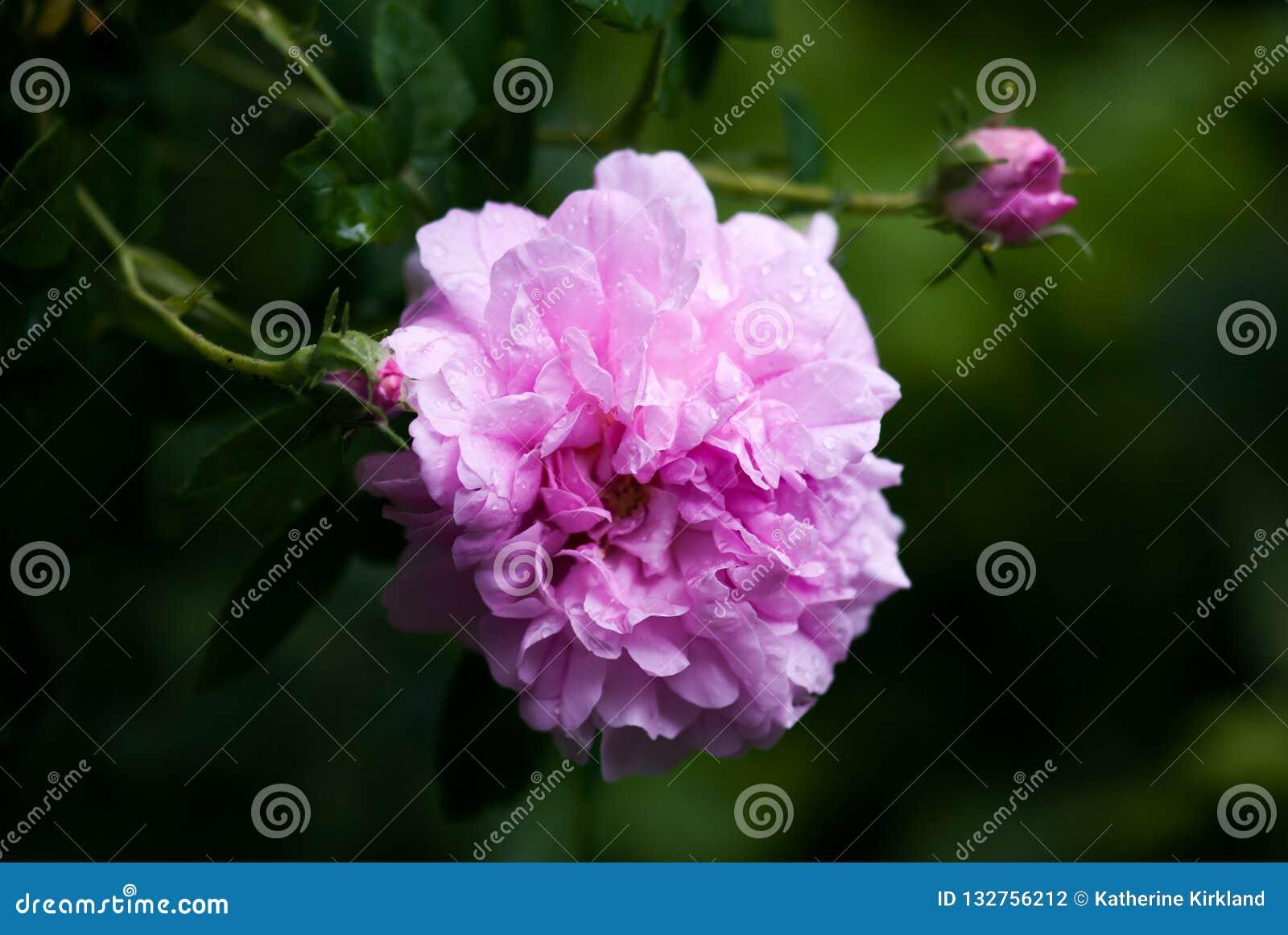 Rufsade rosa Rose Macro