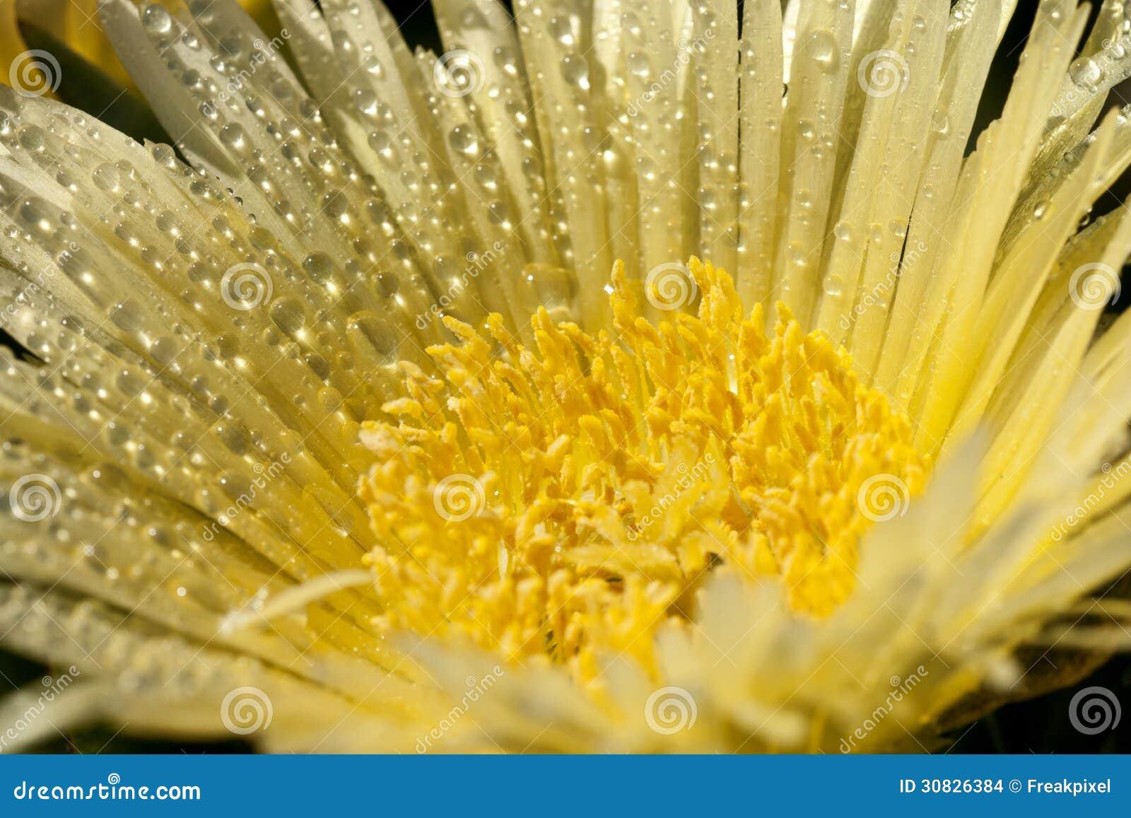 Rugiada sul fiore giallo