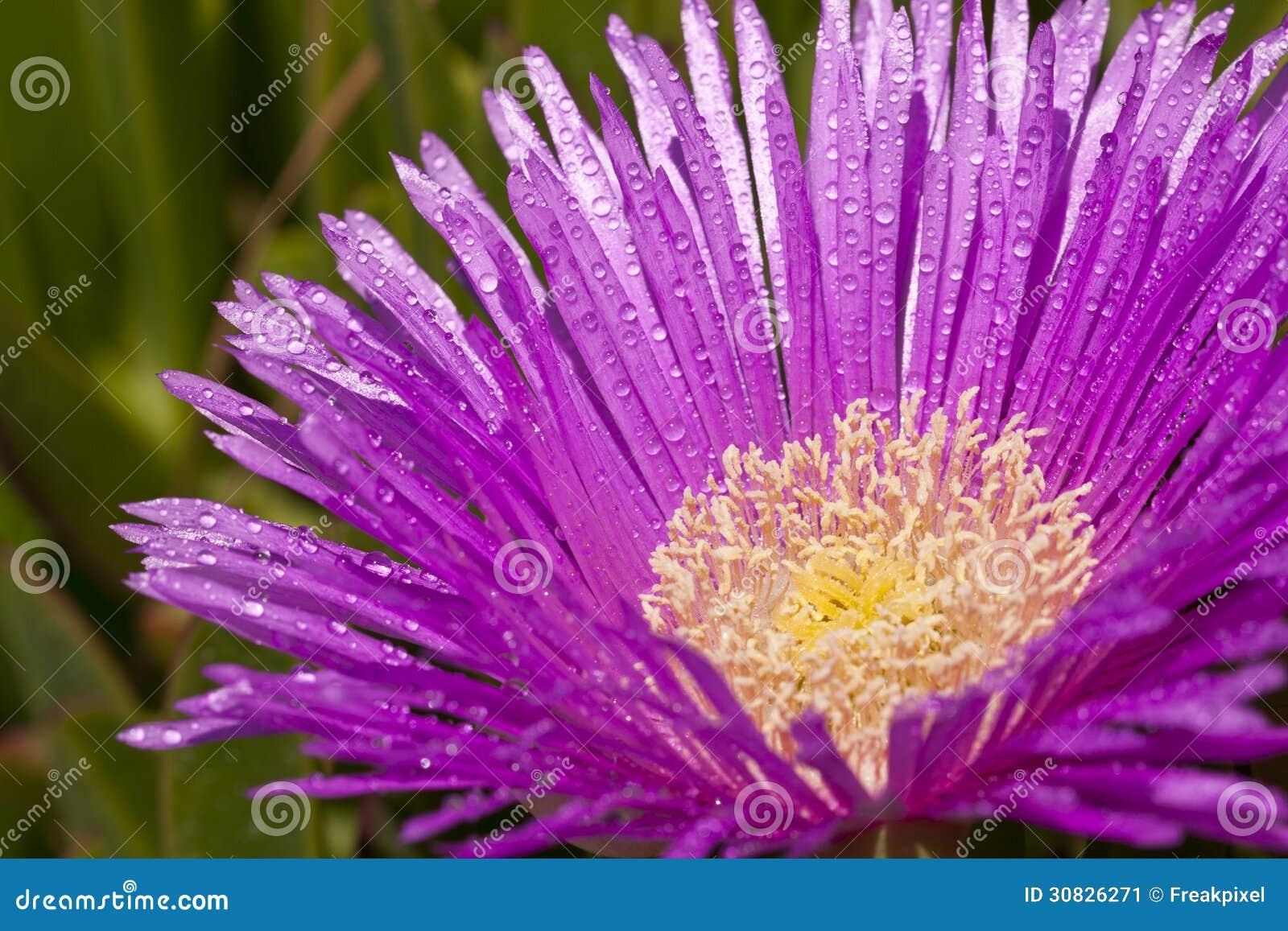 Rugiada sul fiore lilla