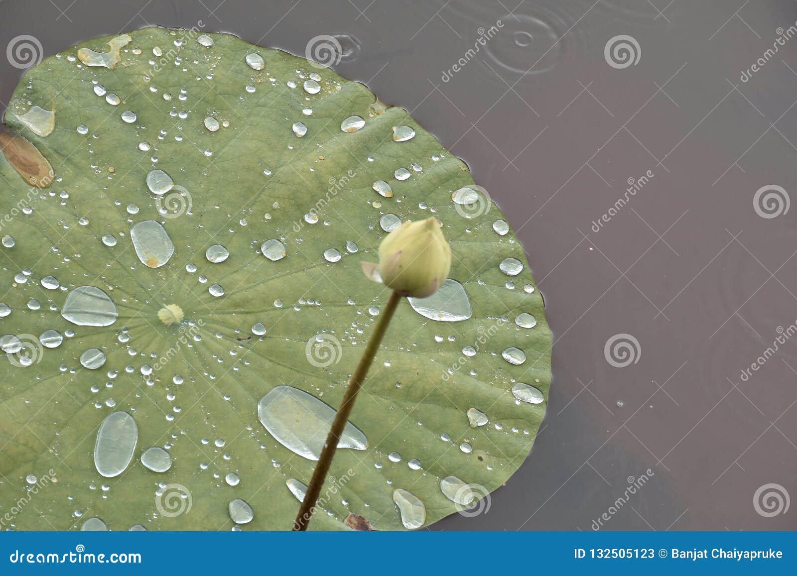 Rullning för vatten för Nelumbonuciferalotusblomma på den heliga blomman för lotusblommatjänstledigheter för bouddist