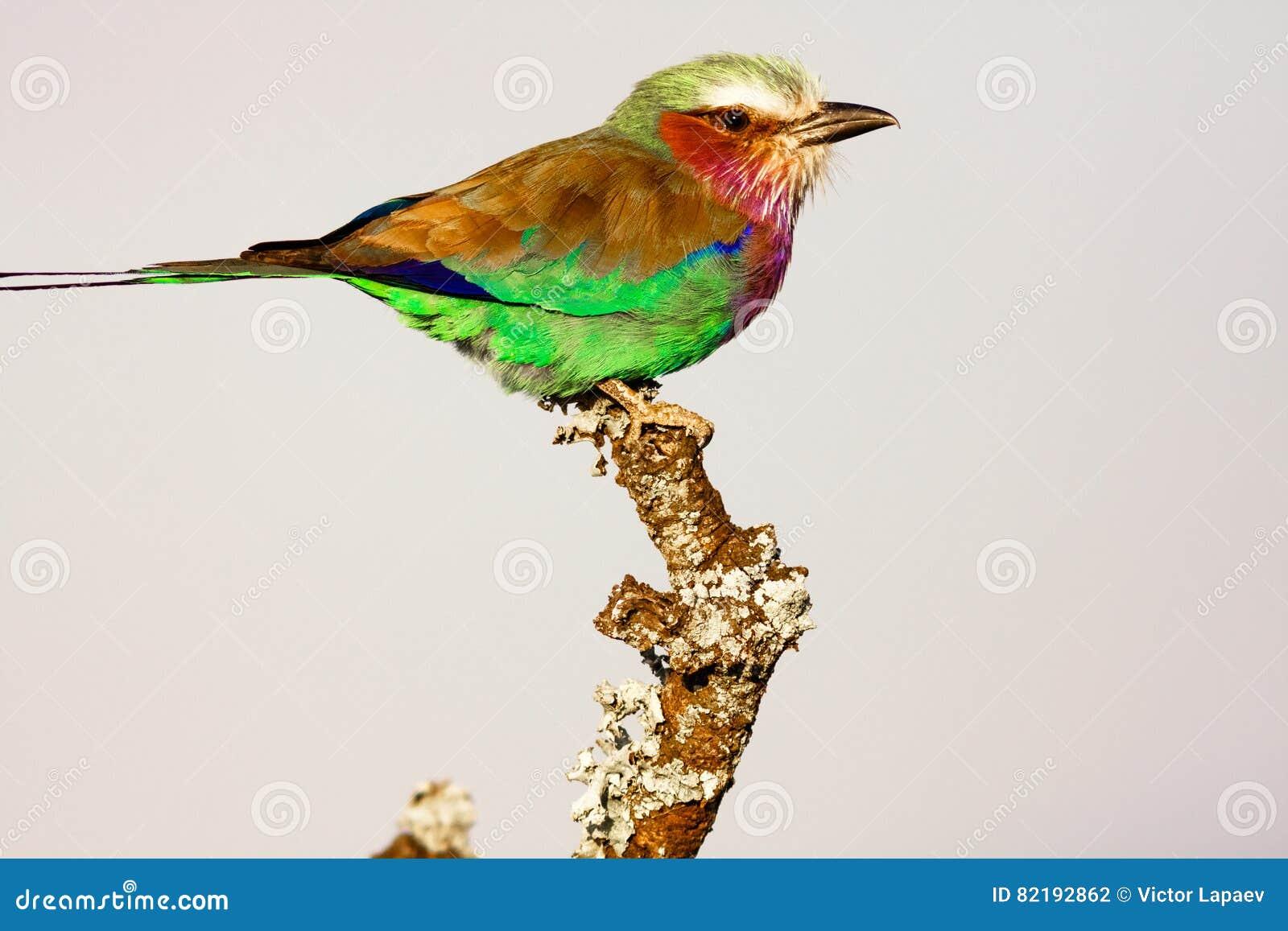 Rullo sull albero uccelli