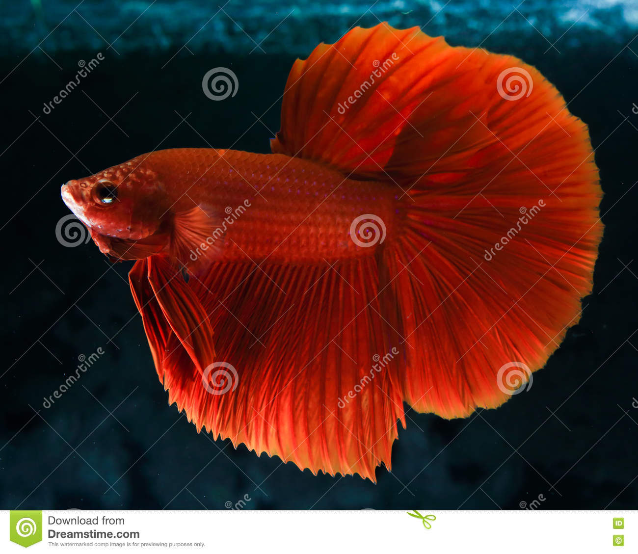 Rumble Fish Betta stock photo. Image of traditional, variation ...