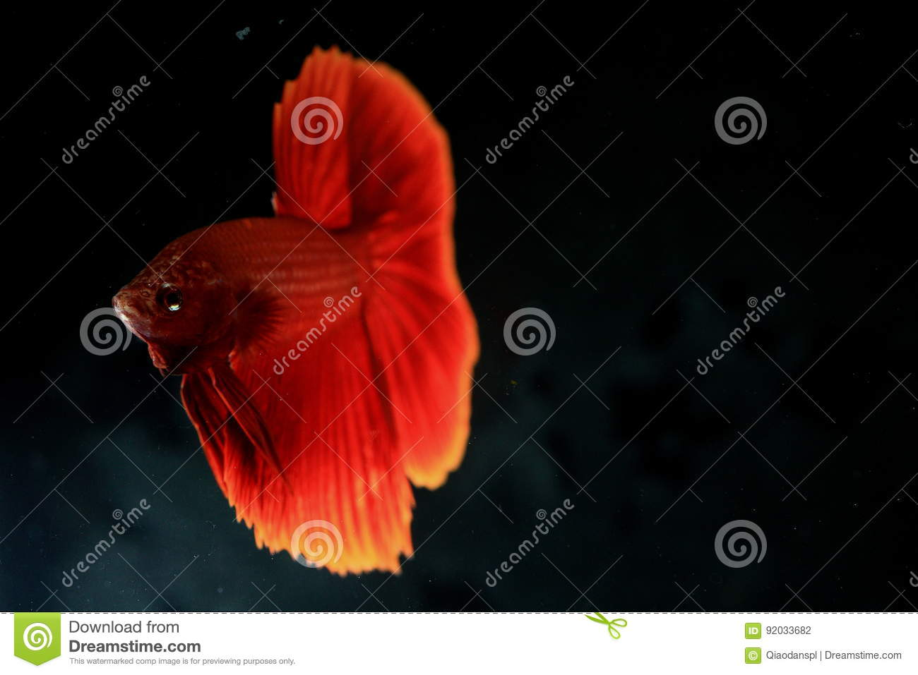 Rumble Fish Betta stock photo. Image of history, color - 92033682