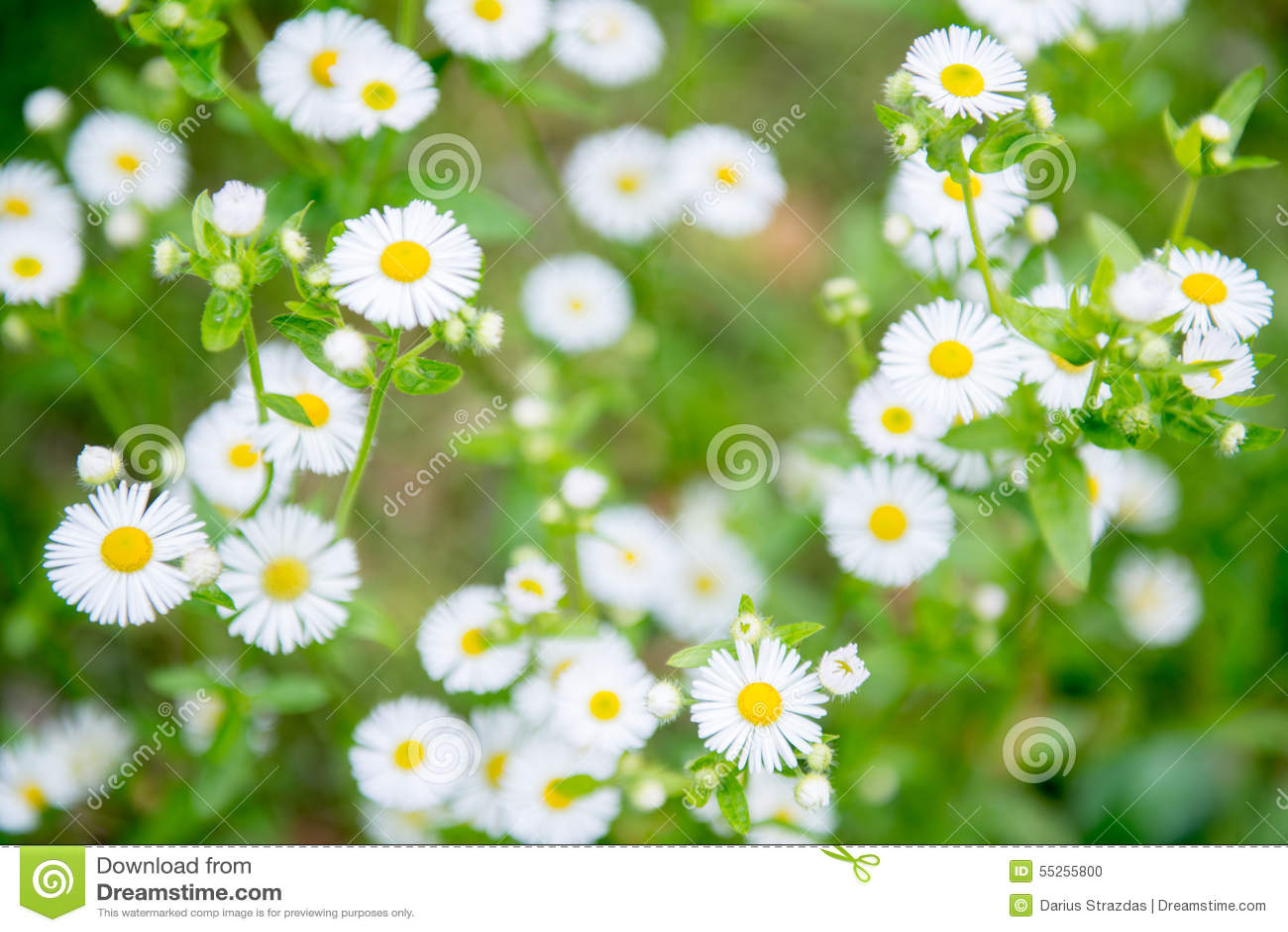 Rumianku chamomilla kwitnie matricaria ilustracyjnego wektor
