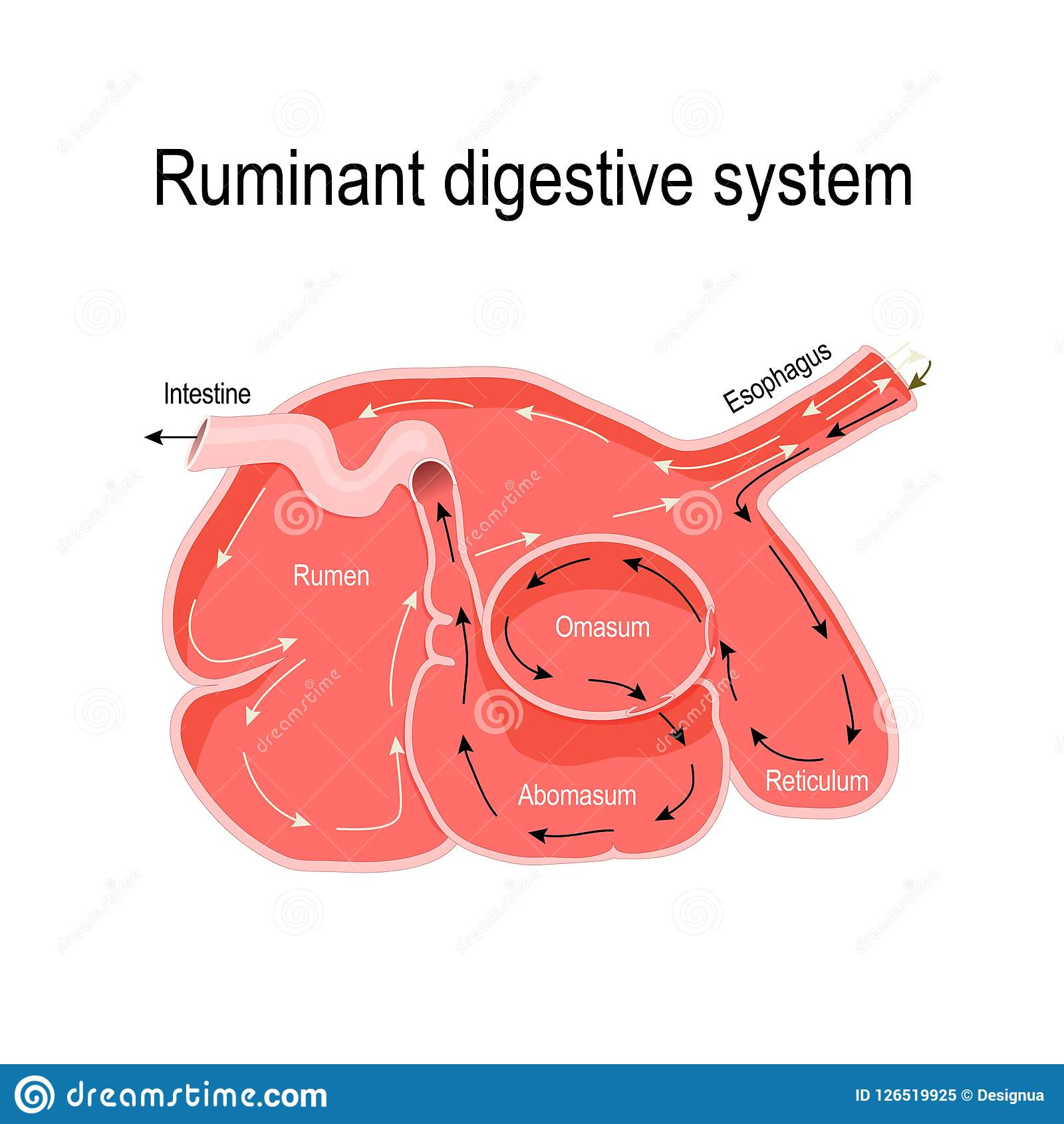 Cross-section Of The Ruminant Stomach Stock Vector