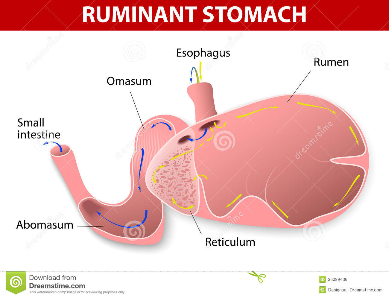 Ruminant stomach stock vector illustration of animal 36099436 pooptronica Image collections