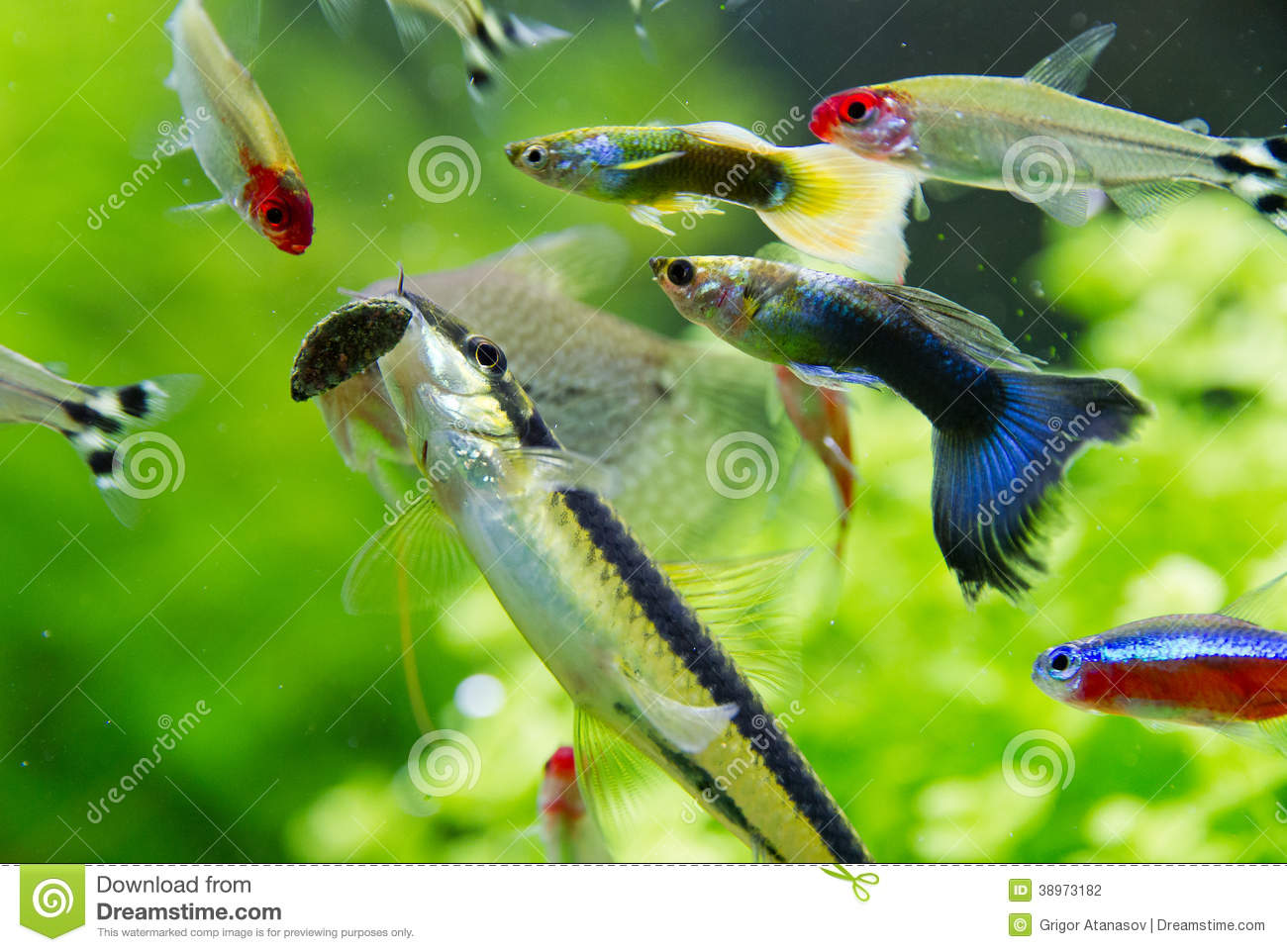 Rummy nose tetra and guppy fish in aquarium stock photo for Freshwater fish online