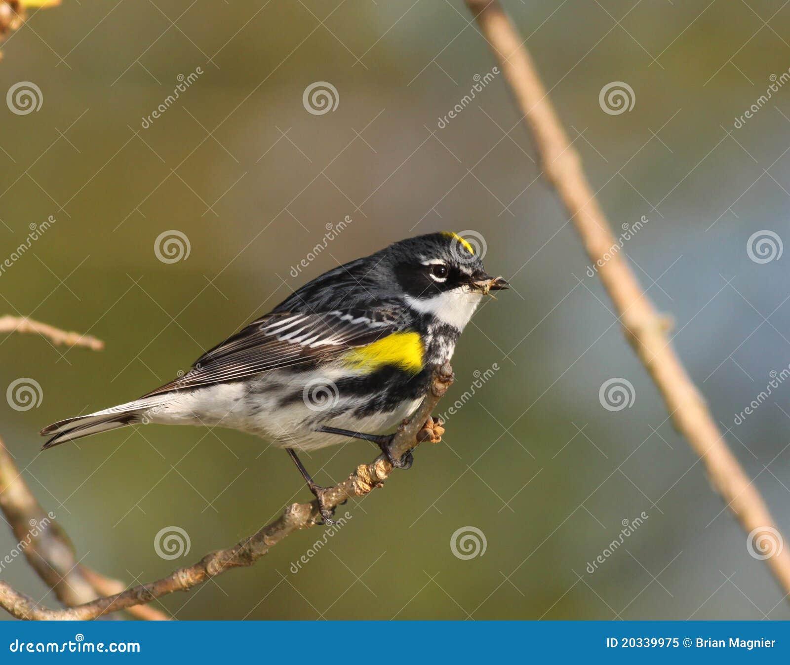 Rumped鸣鸟黄色
