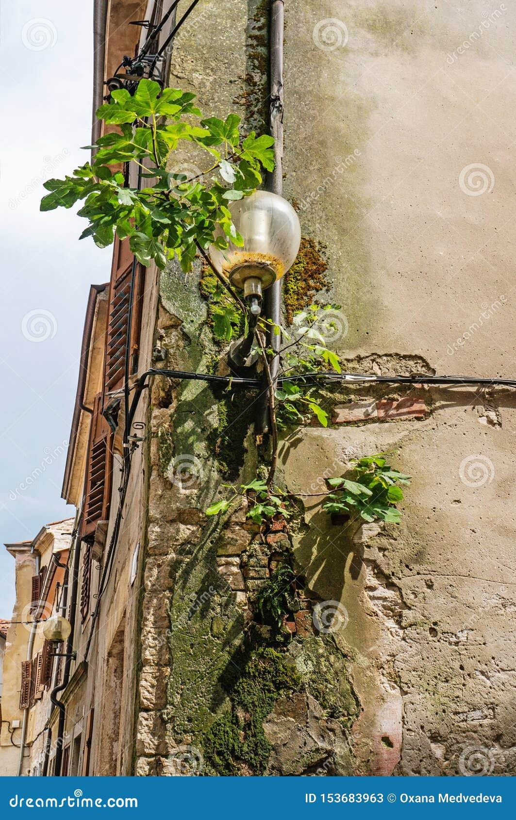 Rund exponeringsglaslyktalampa på en gammal vägg för tegelsten som täckas med murgrönan på hörnet av huset