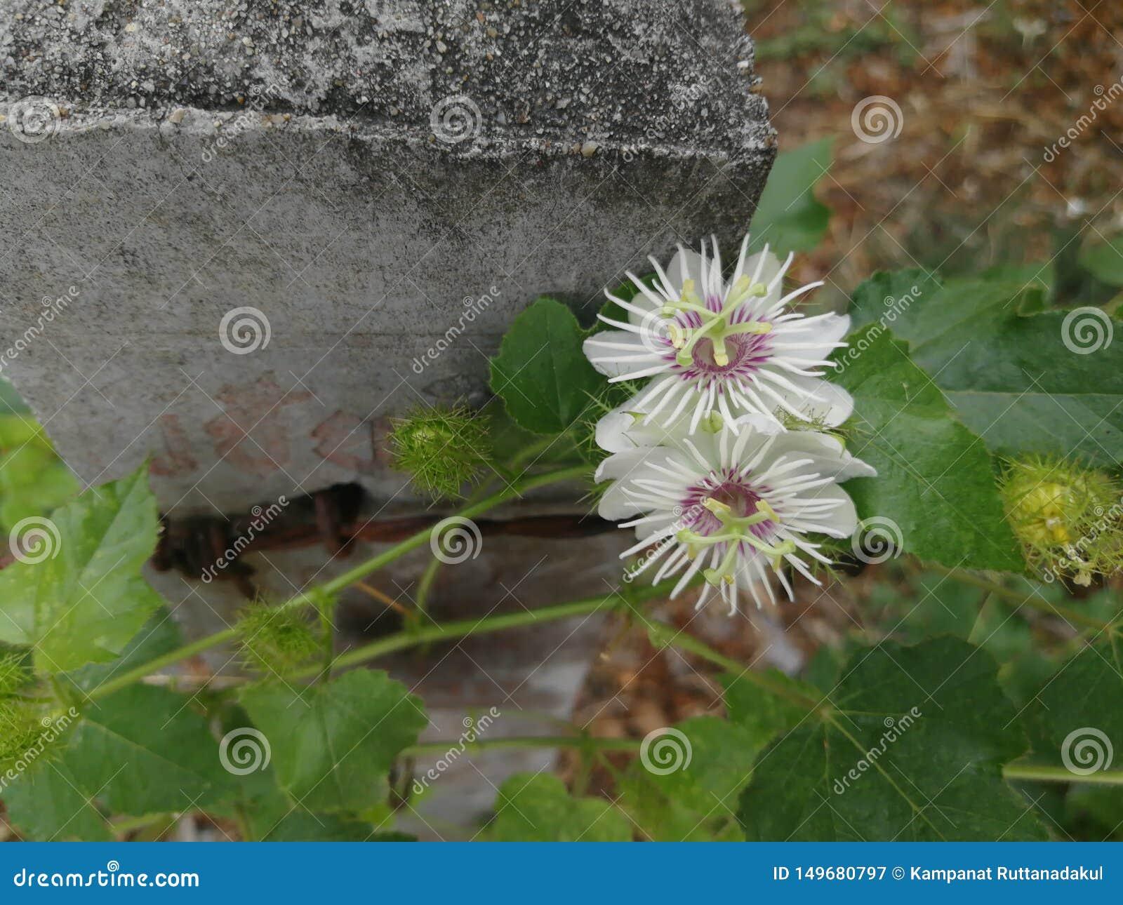 Runda vita blommor på kanten av taggtrådstaketet