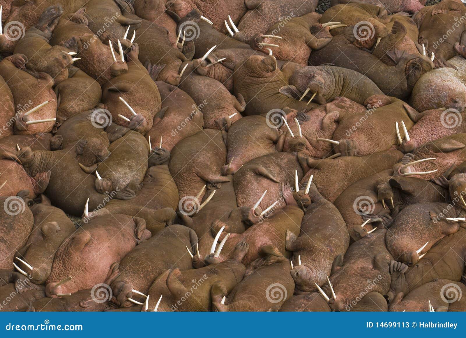 Runda walruses för strandhundredsö