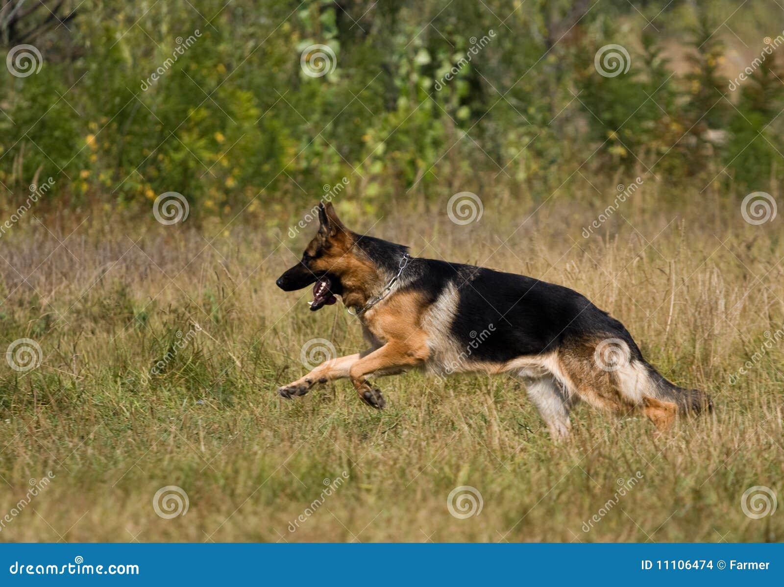 Runing sheepdog
