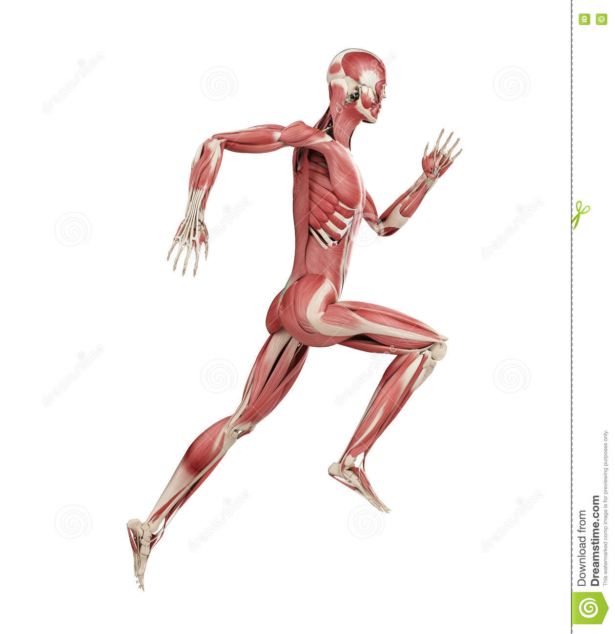 A runners muscles