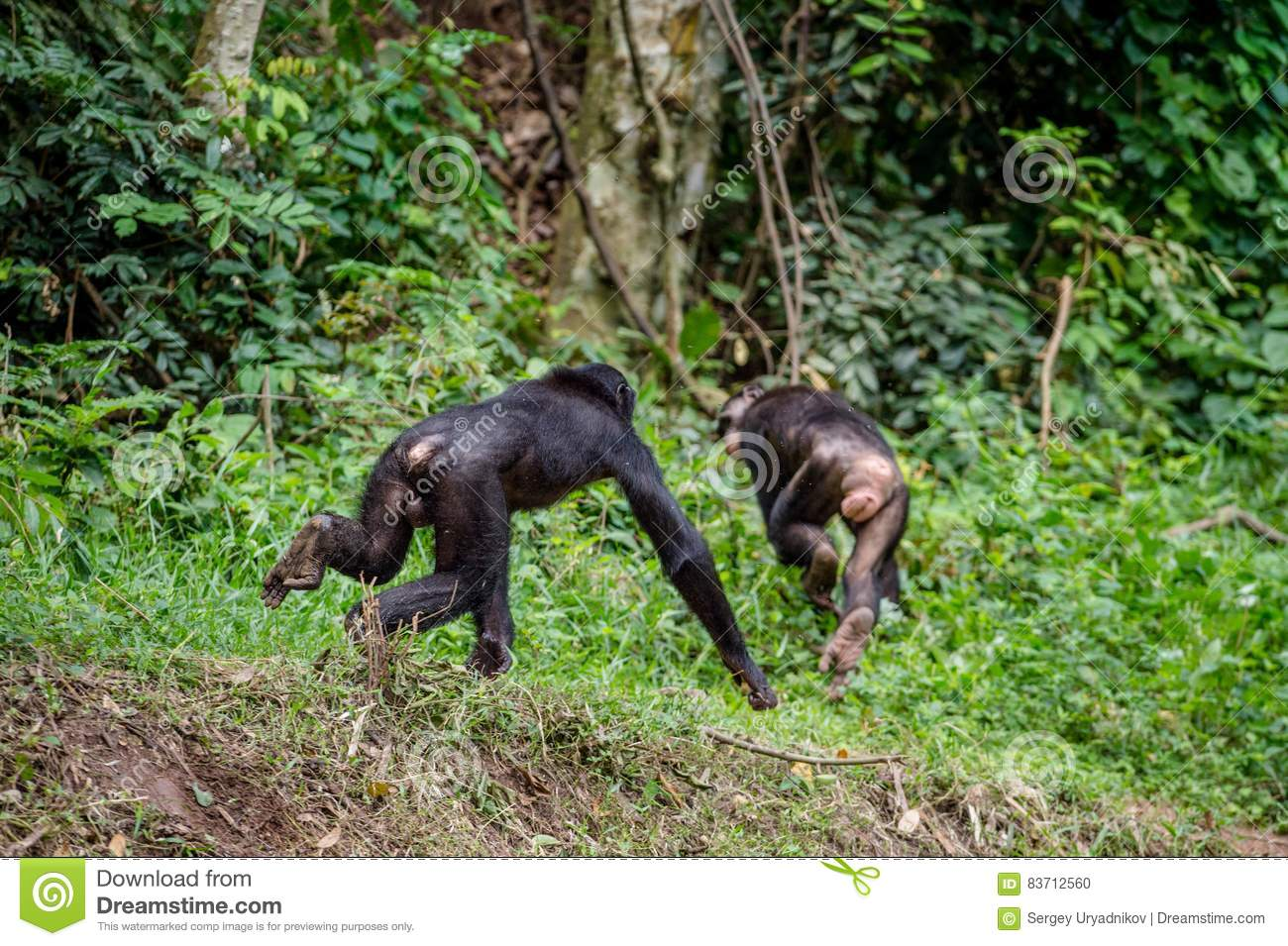 Running Away Bonobo. Stock Photo