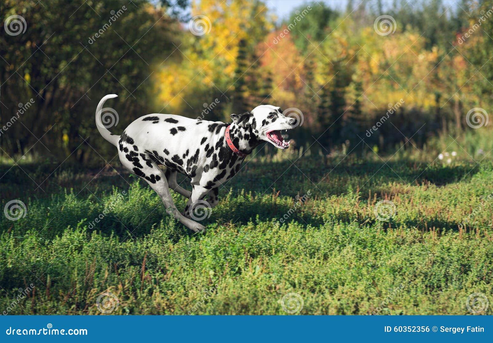 Running back dalmatien de chien