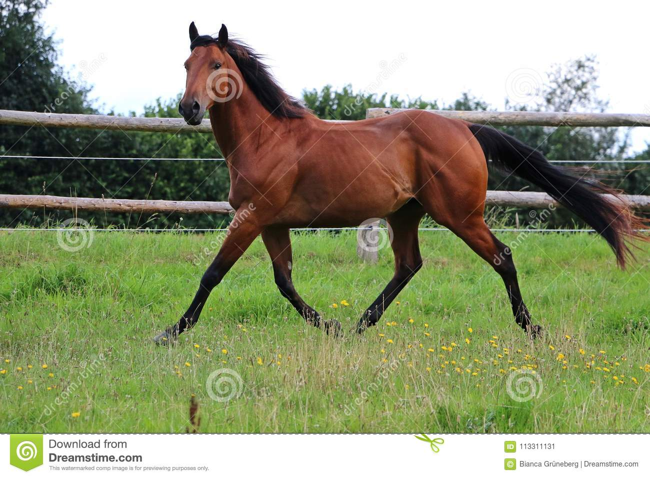 Running Brown Horse On The Paddock Stock Image Image Of Equestrian Mare 113311131