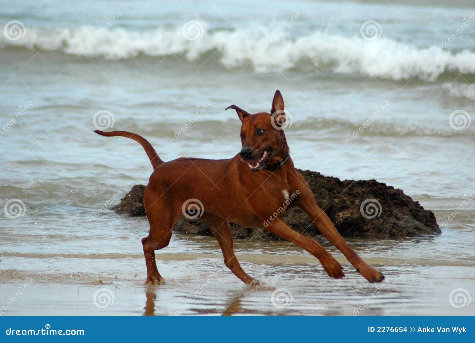 Running Dog Having Fun Stock Images Image 2276654