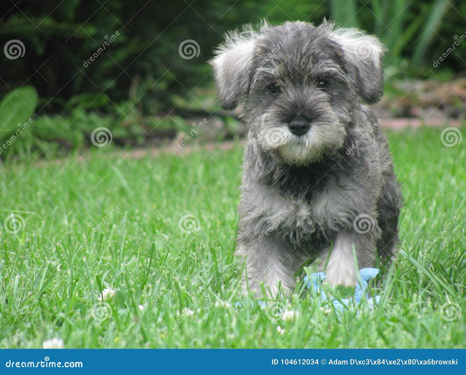 Running DOG Miniature Schnauzer 1
