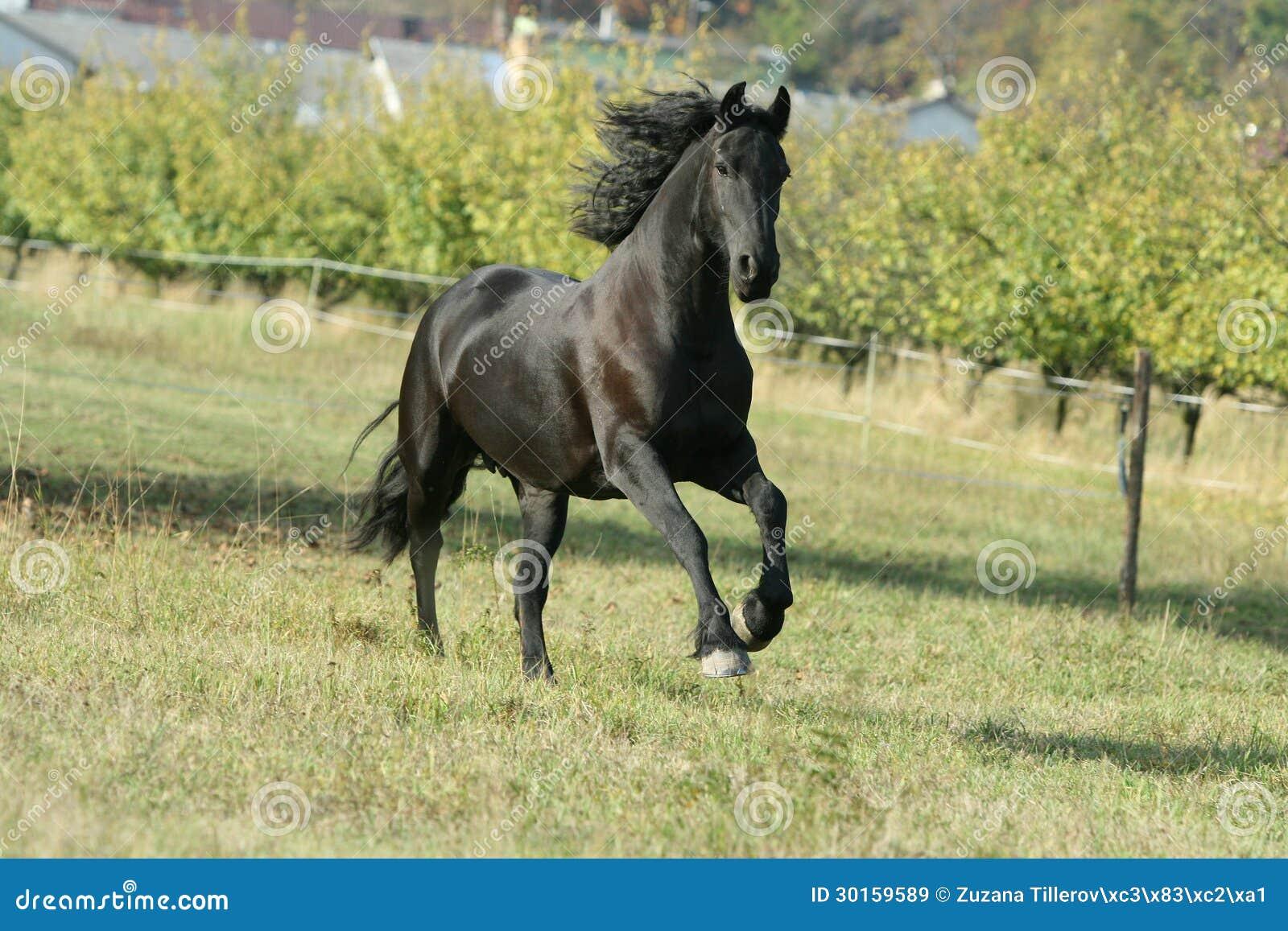Running Friesian horse