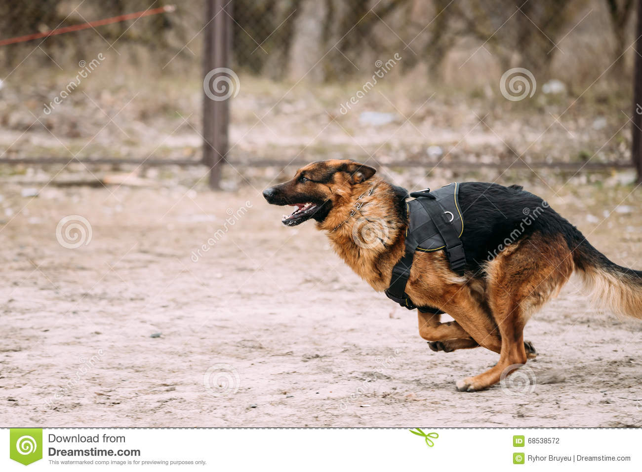 Fast In German >> Running German Shepherd Dog At Training Alsatian Wolf Dog Stock
