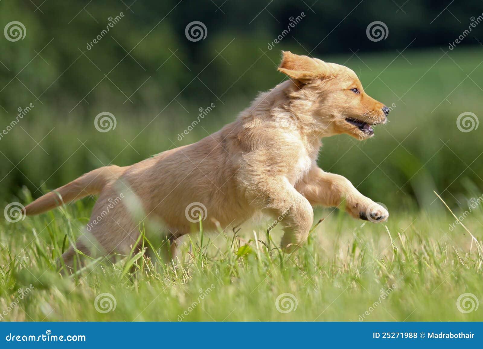 Running Golden Retriever Puppy Stock Photo Image Of Nature Pets