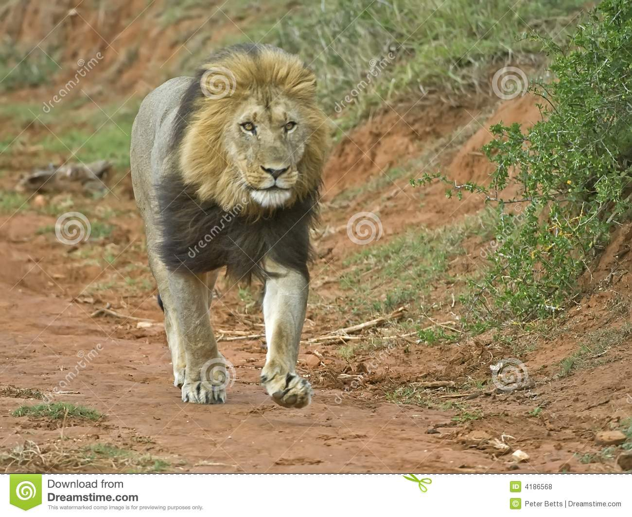 Lions Running Stock Photos and Images