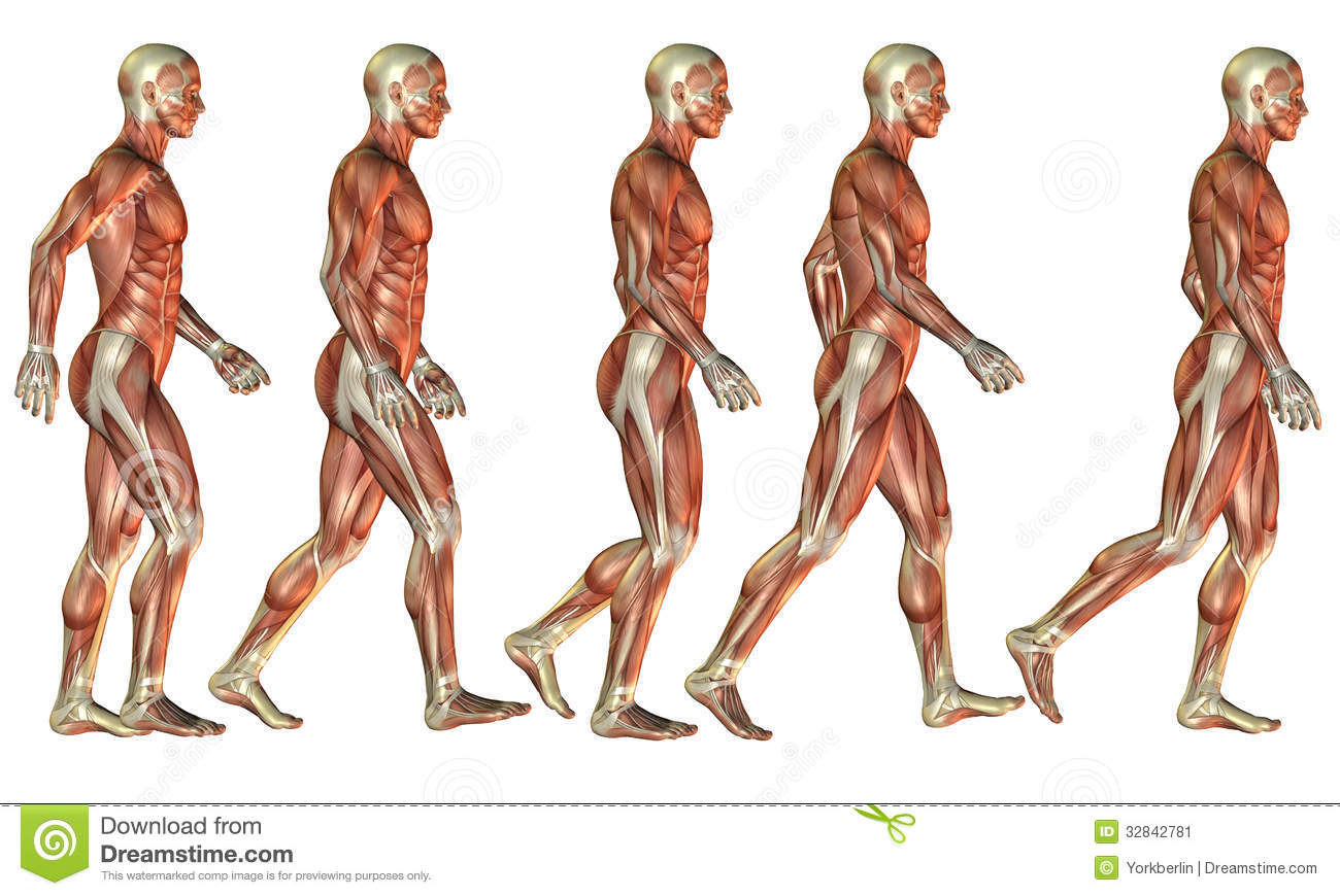 Running Male muscle study stock illustration. Illustration of ...