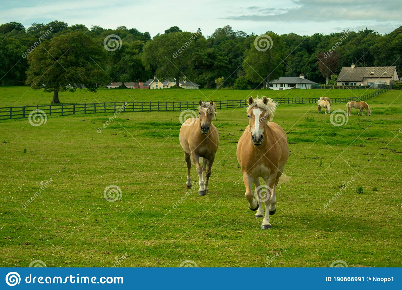334 Palomino Horses Running Photos Free Royalty Free Stock Photos From Dreamstime