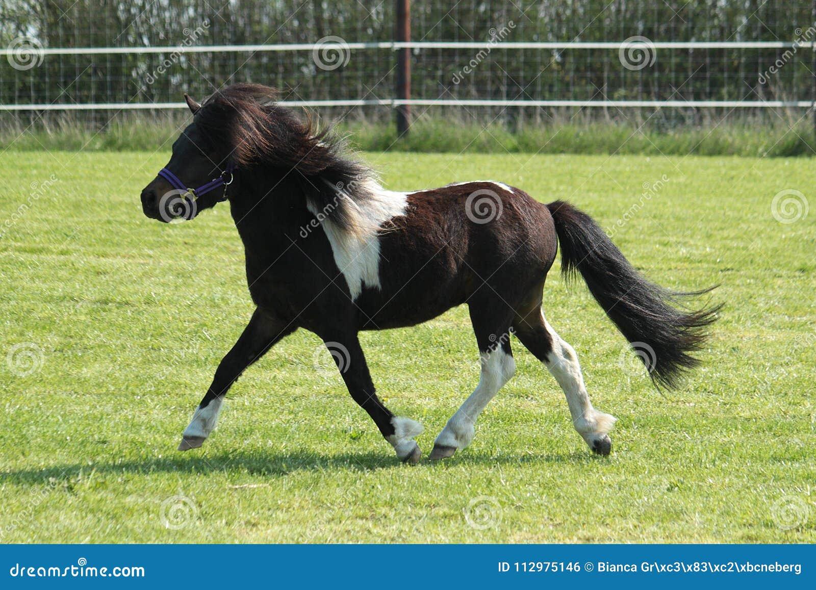 Running shetland pony on the paddock