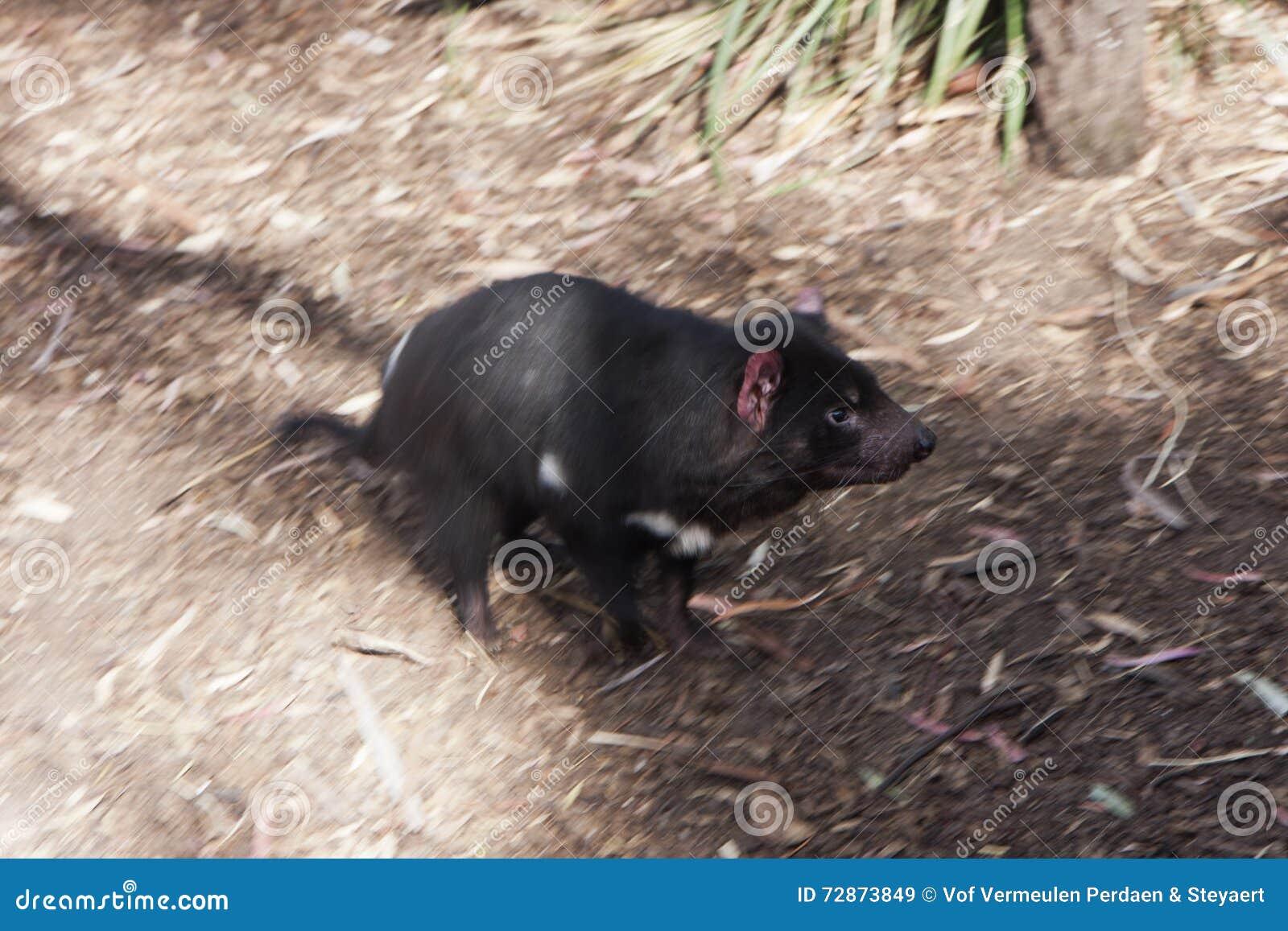 Running Tasmanian Devil