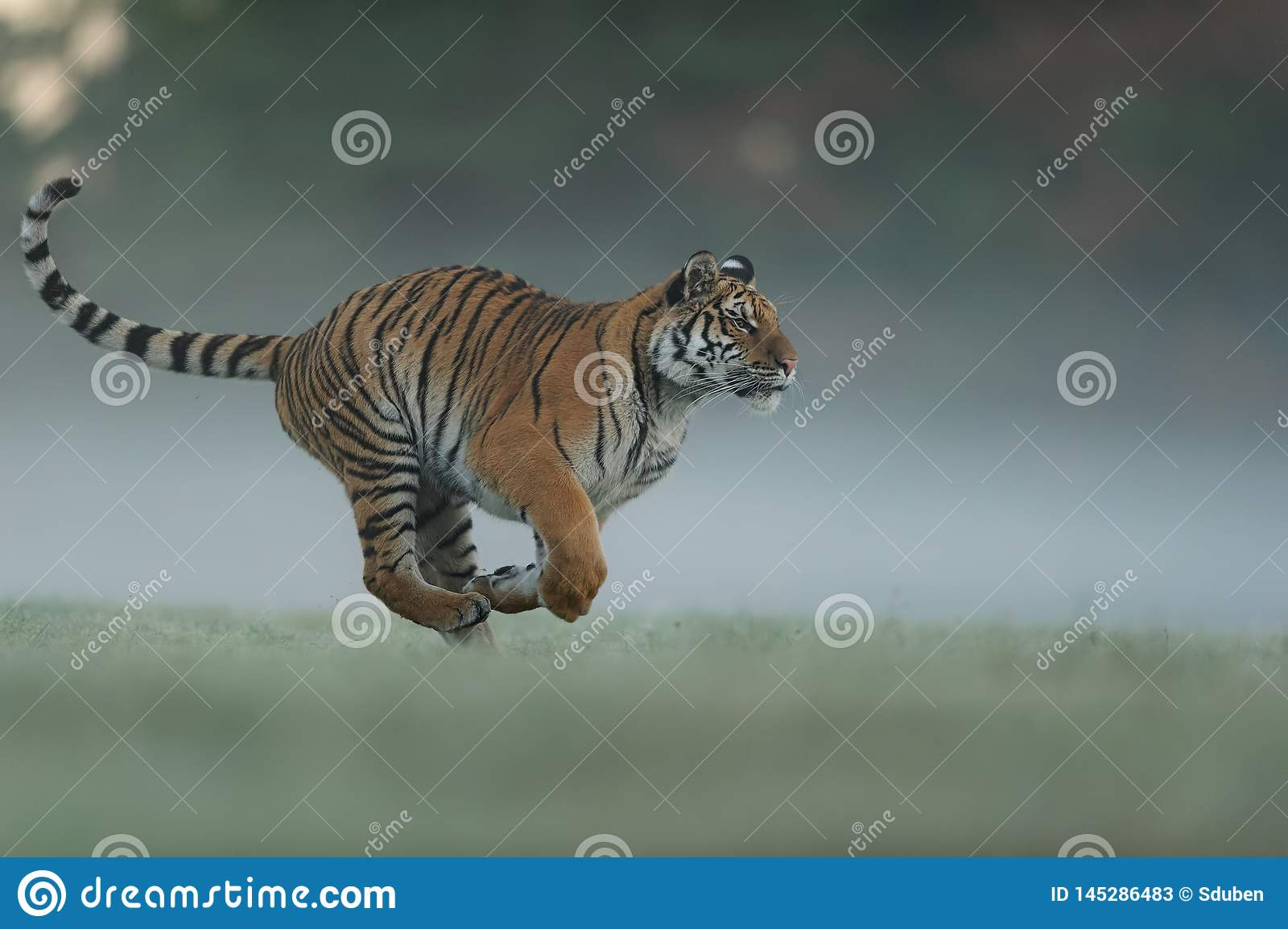Running tiger on morning green field. Side view to dangerous animal. Tiger profil in agressive run. Siberian tiger