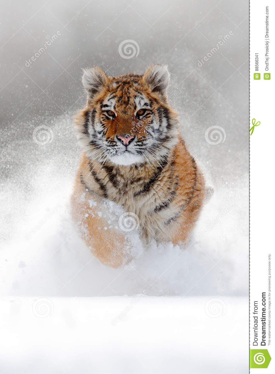 Running tiger with snowy face. Tiger in wild winter nature. Amur tiger running in the snow. Action wildlife scene, danger animal.