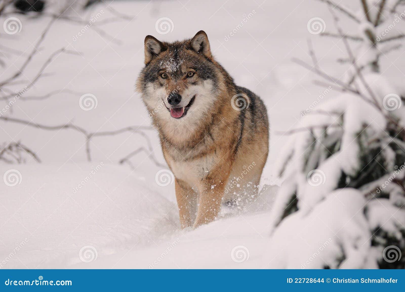 Running Wolf ( Canis lupus )