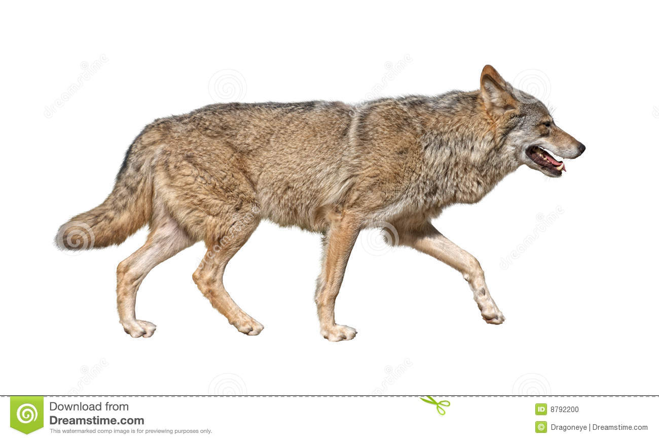 Gray wolf (Canis lupus) run in hunting pursuit side view.For more ...